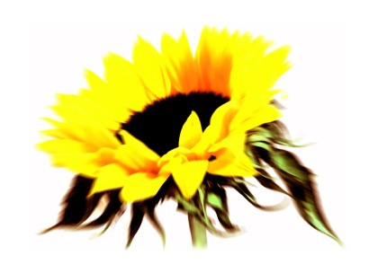 sunflower digital image by jenny meehan jamartlondon  colourful flowerhead