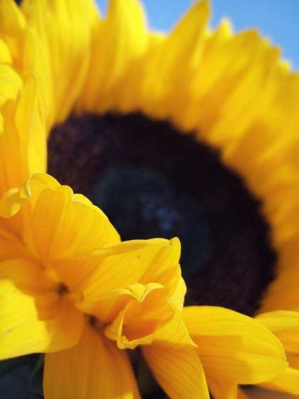 art to license uk sunflower digital image by jenny meehan jamartlondon  colourful flowerhead