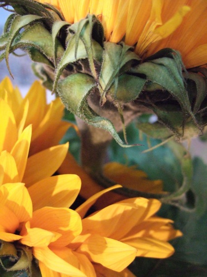 sunflower digital image by jenny meehan jamartlondon  colourful flowerhead yellow  art to license uk